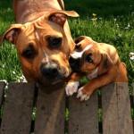 "Zican´s Li´l Rock ""AC"" with her puppie Bootcamp Attractive Athena ""Doris"""