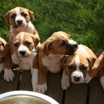 Puppies Gladiator Litter